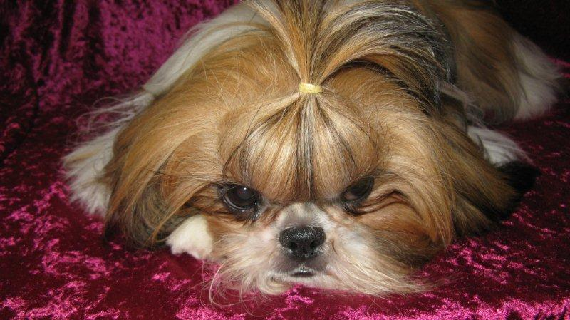 Red and White Shih Tzu http://www.jazzysshihtzu.webs.com/mygirls.htm